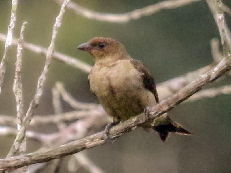 Lyre-tailed Honeyguide - Jacob C. Cooper