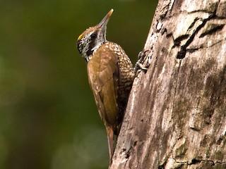 - Golden-crowned Woodpecker