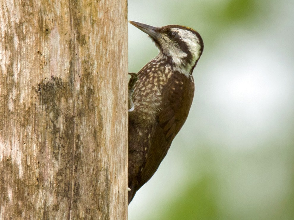 Golden-crowned Woodpecker - Lars Petersson