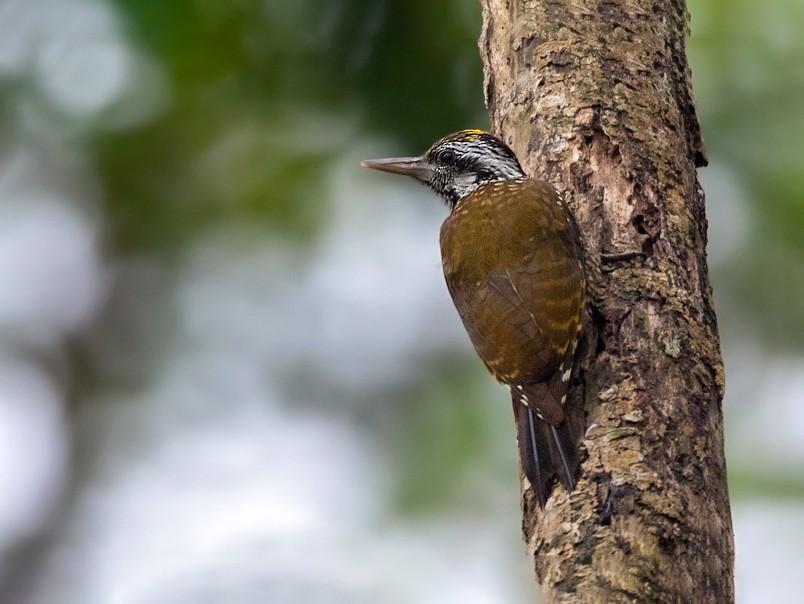 Golden-crowned Woodpecker - Dubi Shapiro