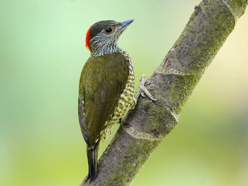 Buff-spotted Woodpecker - Prof.Dr. Ahmet Karatash