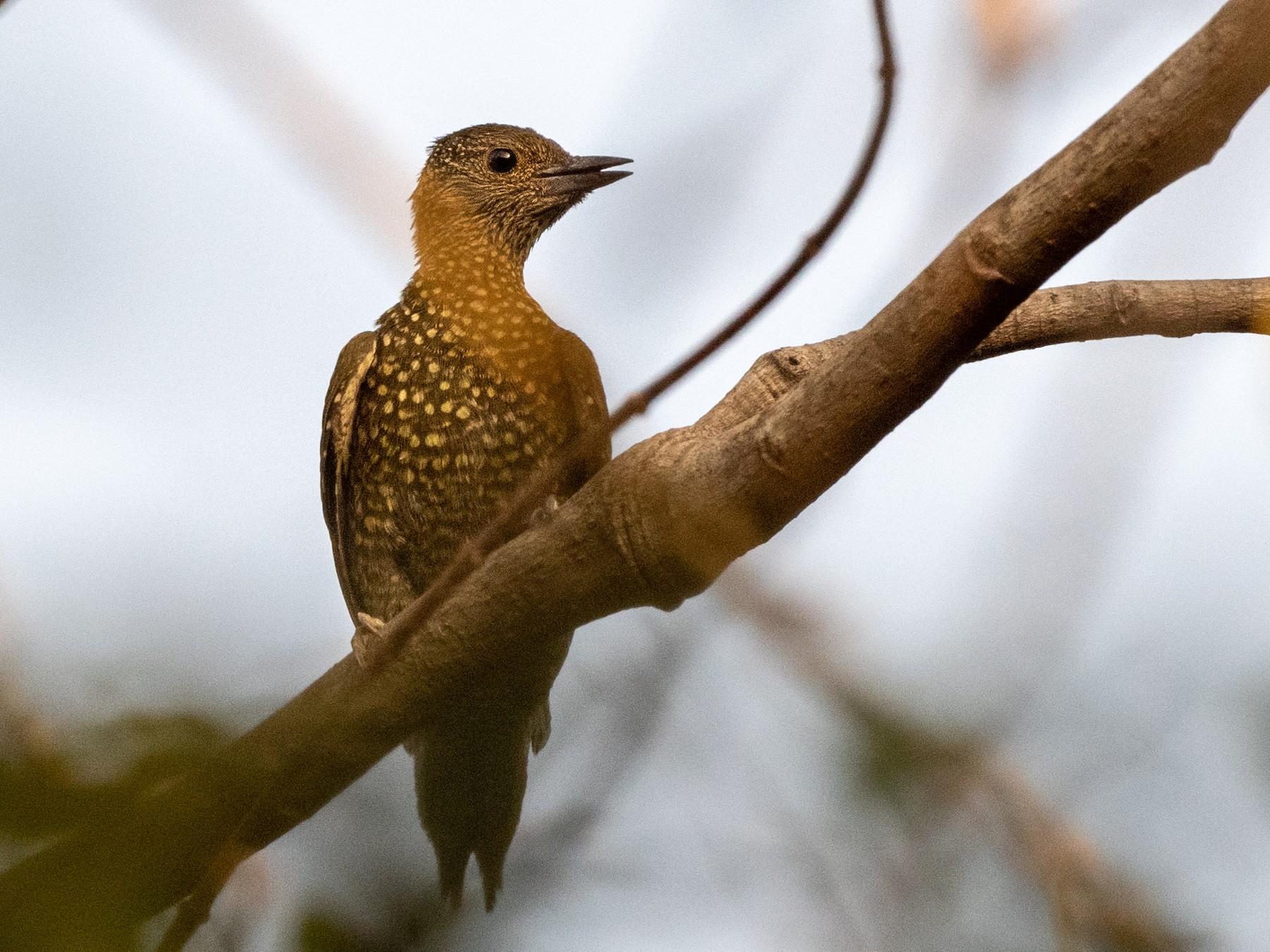 Buff-spotted Woodpecker - Hans Norelius