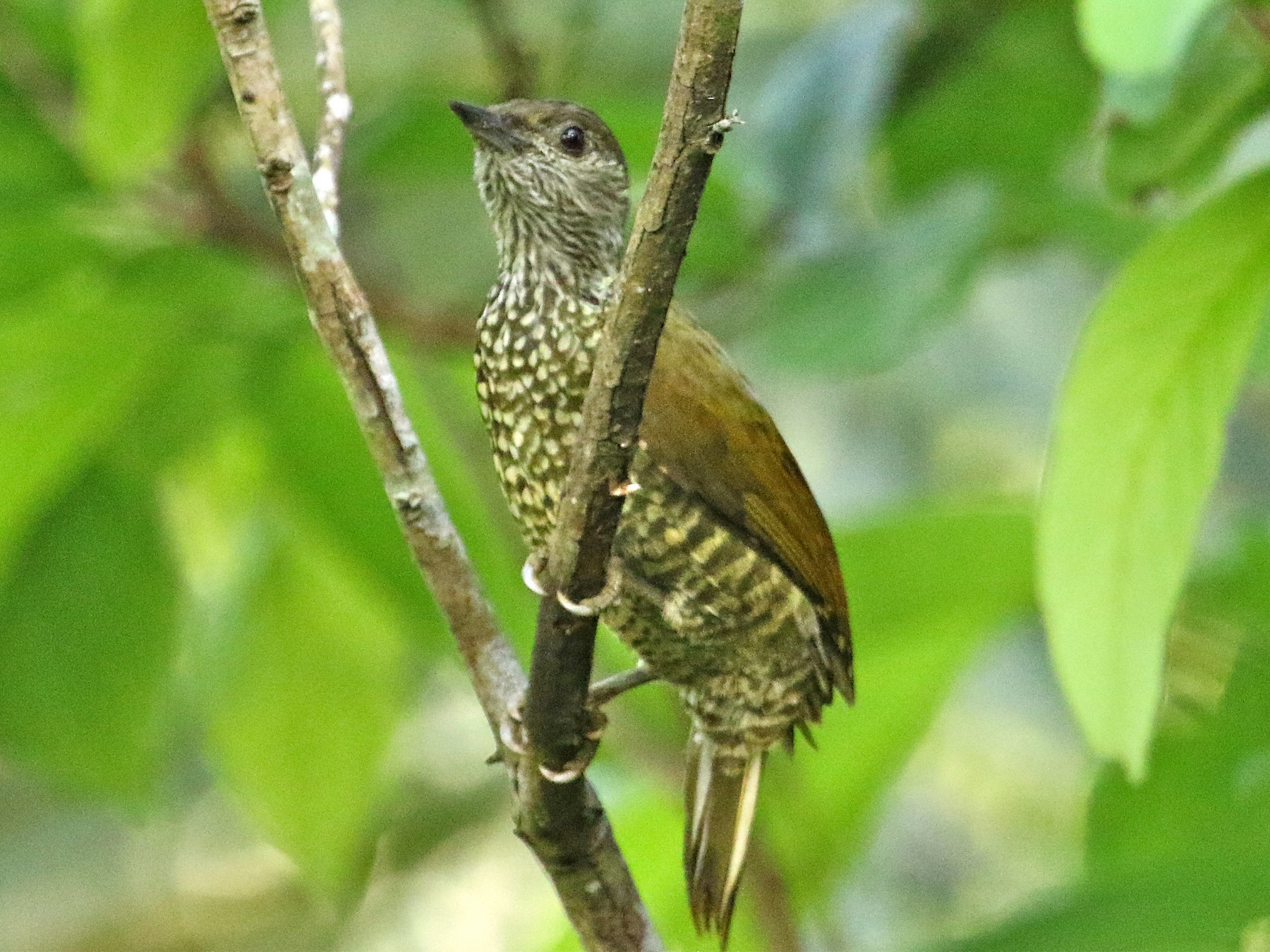 Buff-spotted Woodpecker - Gil Ewing