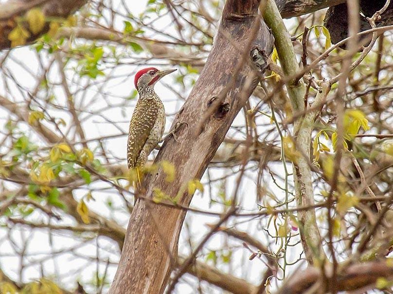 Reichenow's Woodpecker - Bruce Ward-Smith