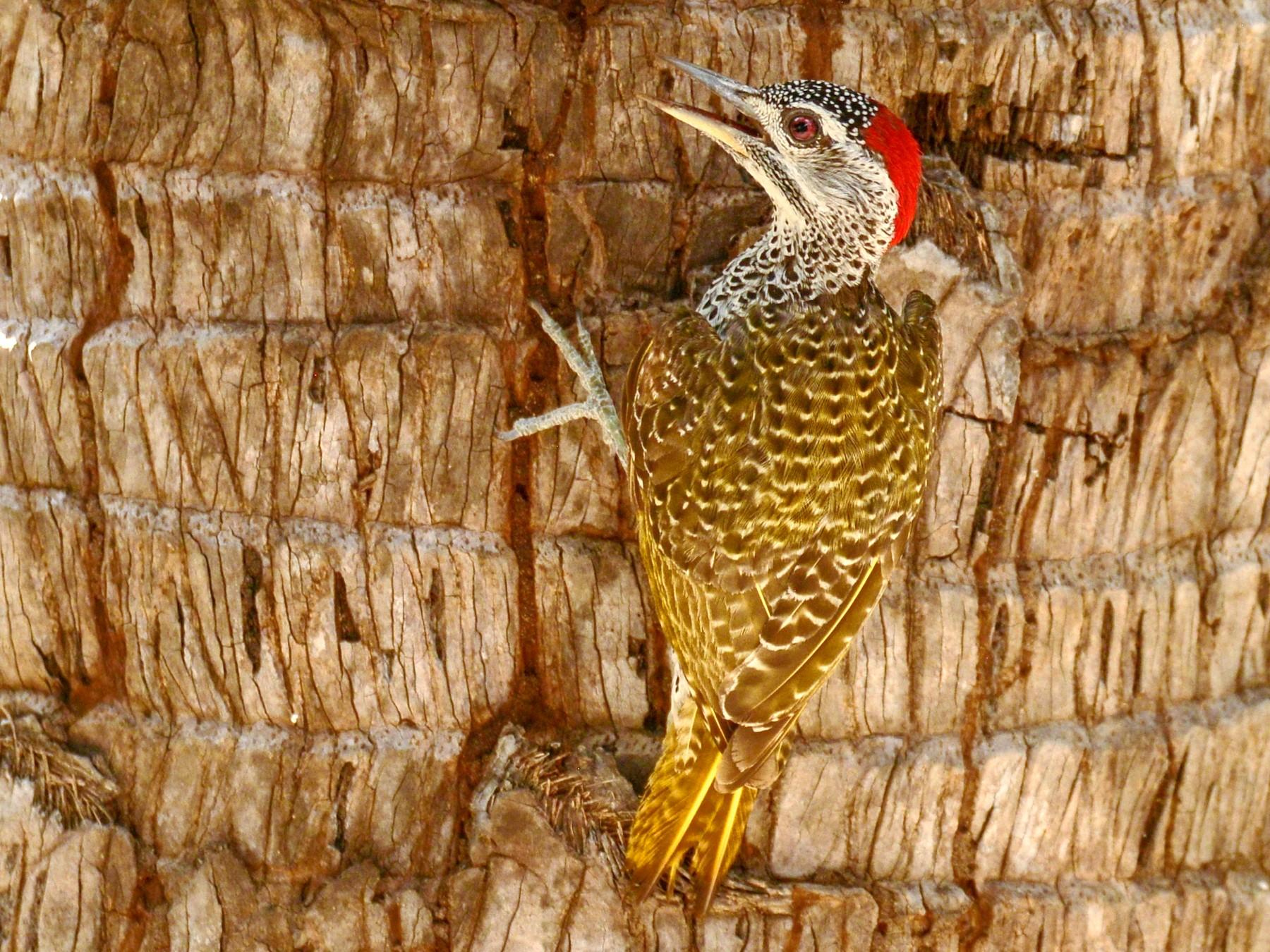 Reichenow's Woodpecker - Alan Van Norman