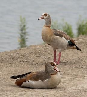 Egyptian Goose, ML251401691