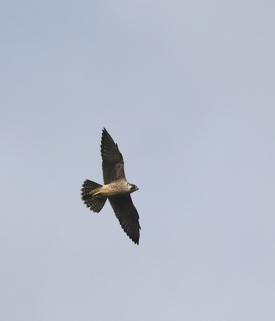 Peregrine Falcon (Eurasian)