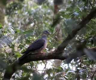 Ashy Wood-Pigeon