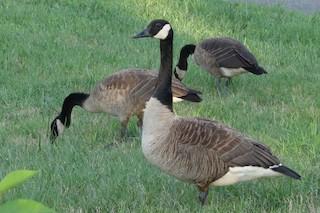 Canada Goose, ML251539001