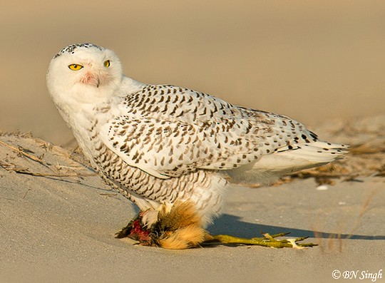 snowy owl diet and food web