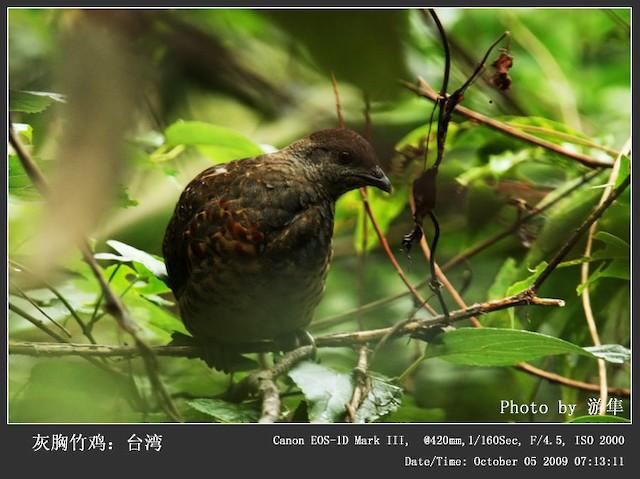 Taiwan Bamboo-Partridge