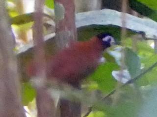 - White-masked Antbird