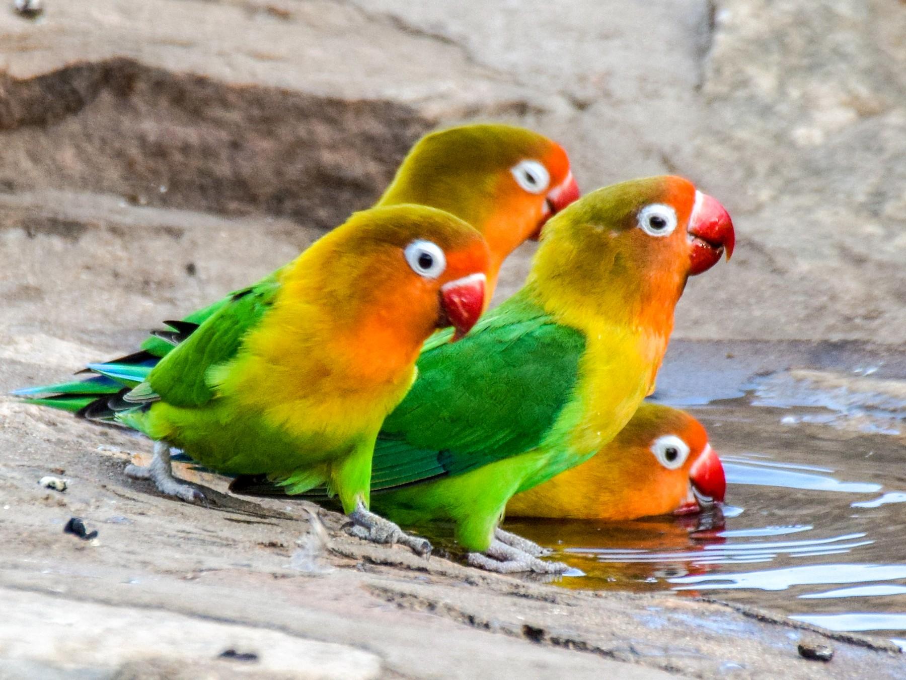 Fischer S Lovebird Ebird