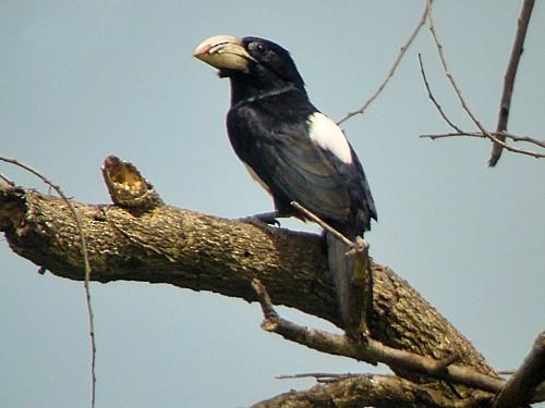Black-breasted Barbet - Nik Borrow