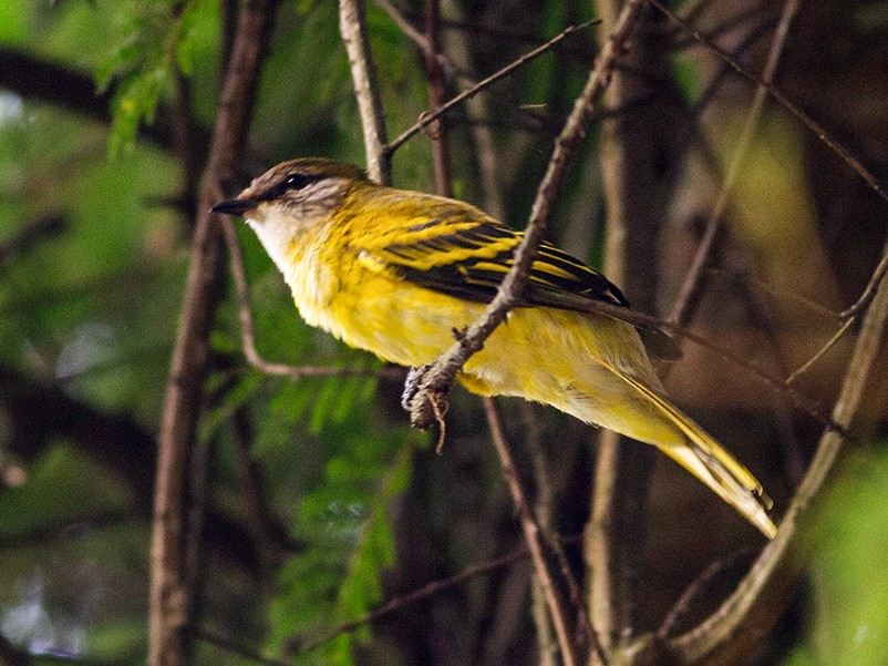 Petit's Cuckooshrike - Diego Oscar / Sandpiper Birding & Tours
