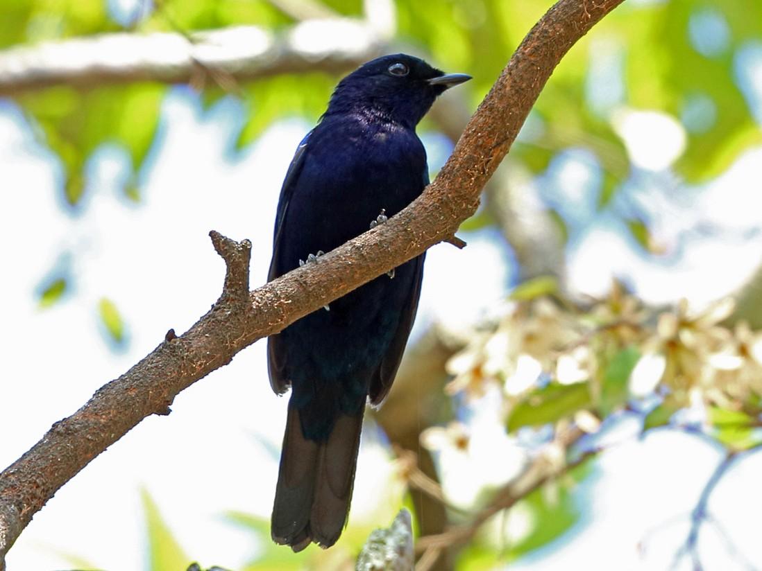 Purple-throated Cuckooshrike - Nigel Voaden