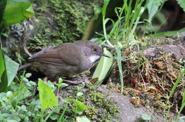 Mountain Mouse-Warbler