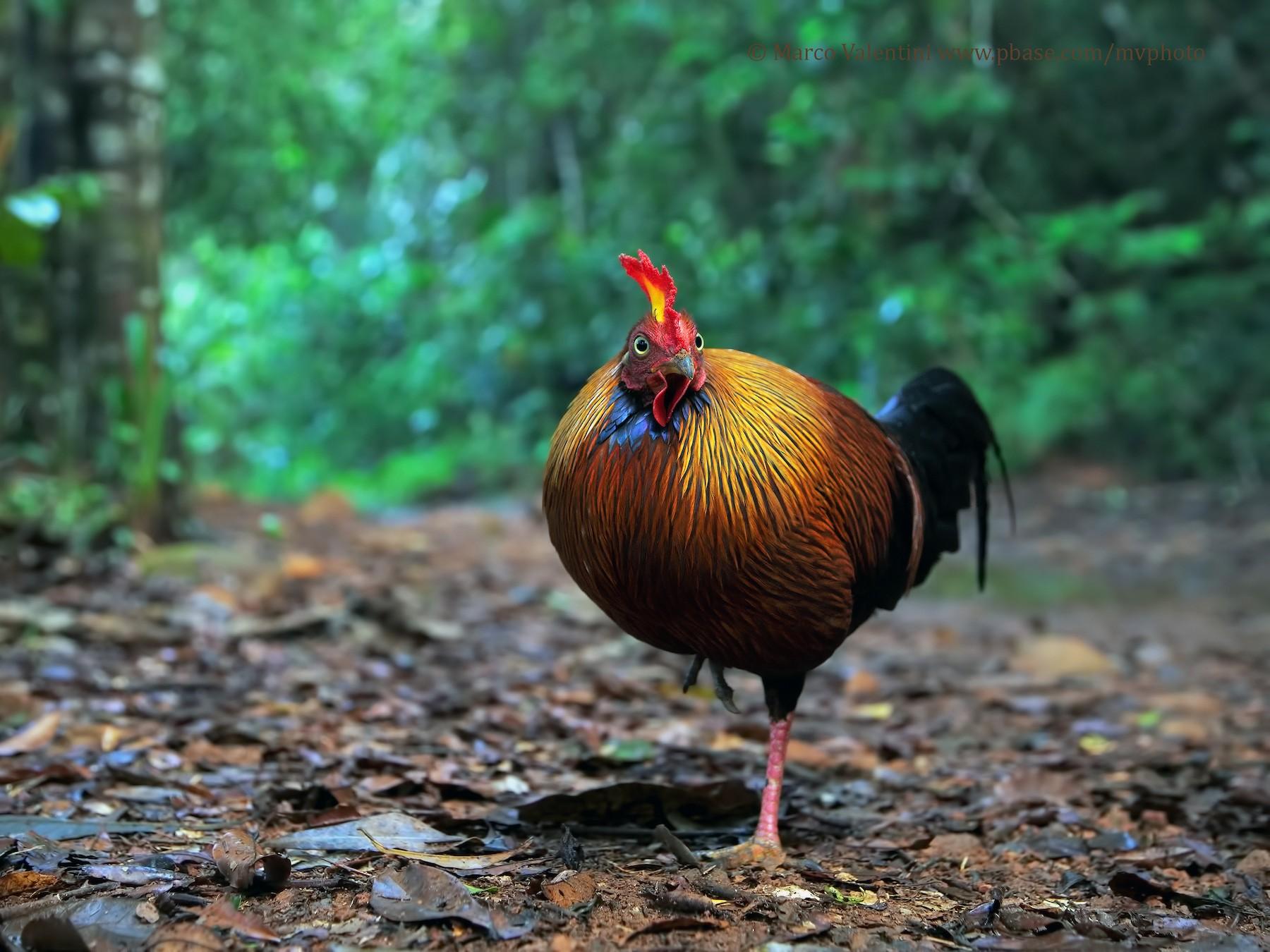 Sri Lanka Junglefowl - Marco Valentini