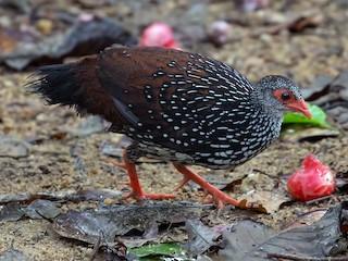 - Sri Lanka Spurfowl