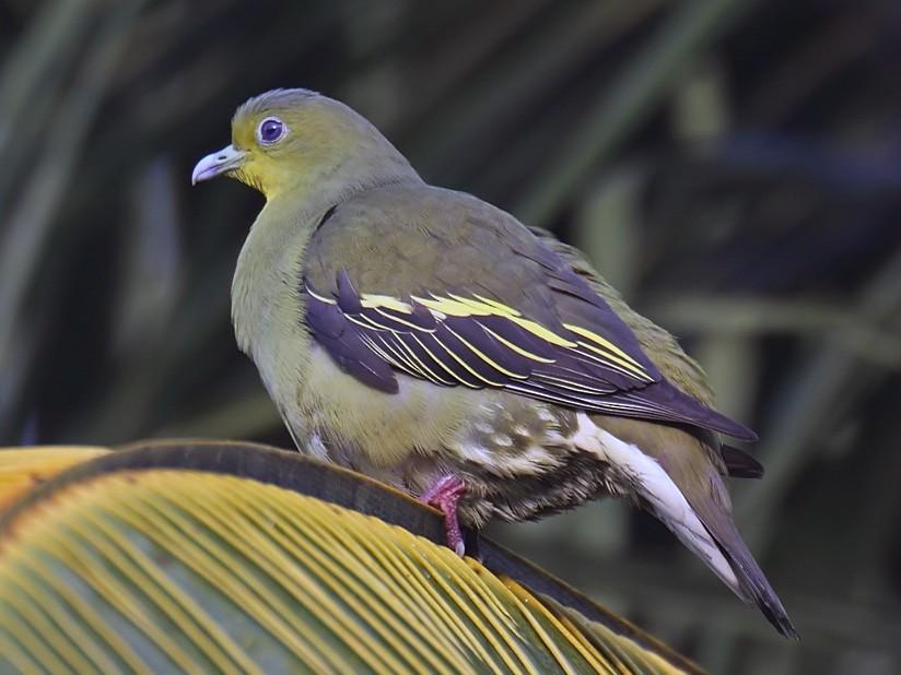 Sri Lanka Green-Pigeon - John Thompson