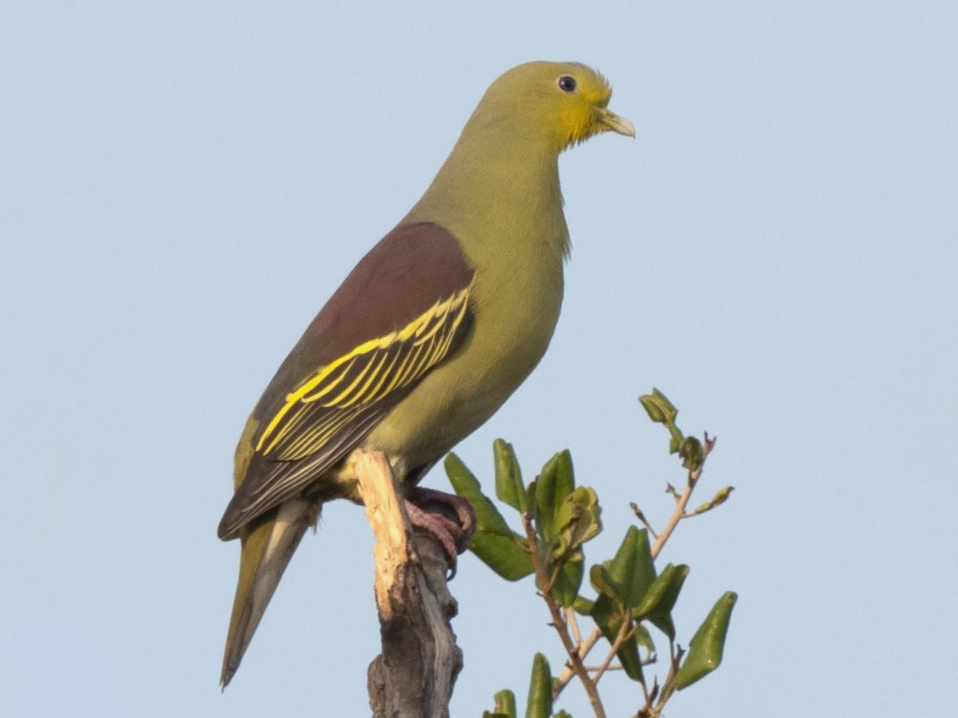 Sri Lanka Green-Pigeon - William Stephens