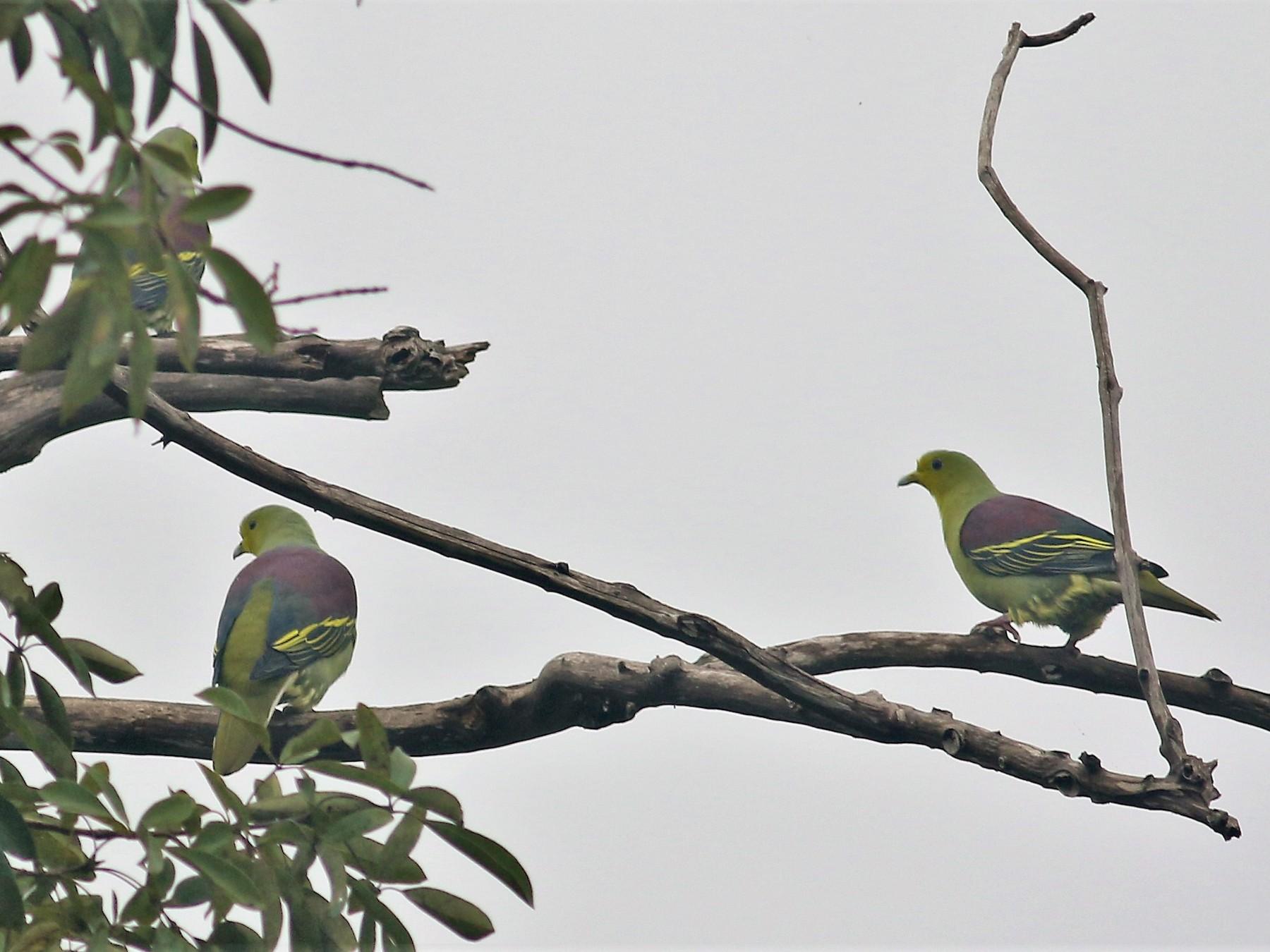 Sri Lanka Green-Pigeon - Fadzrun A.