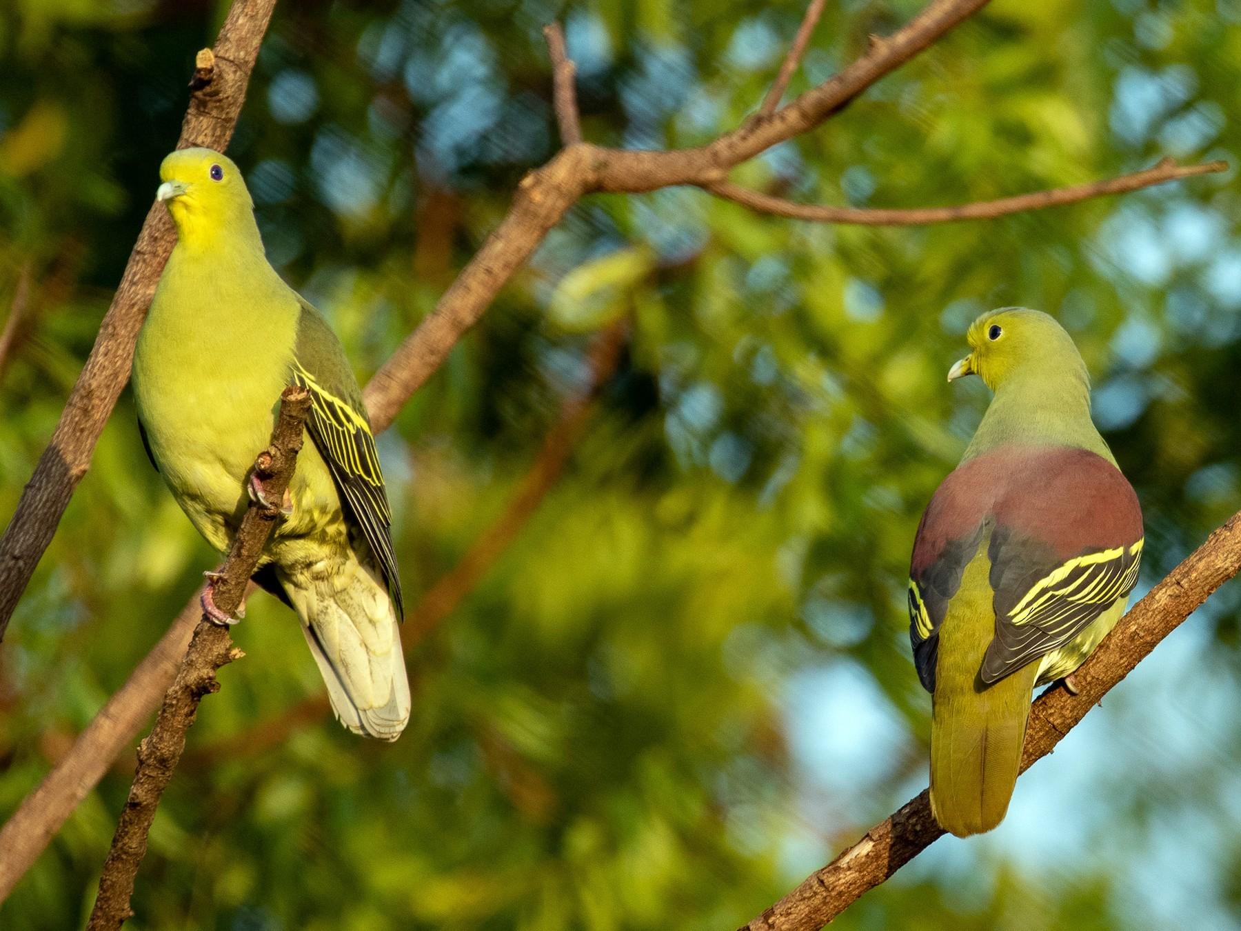 Sri Lanka Green-Pigeon - Susan Mac
