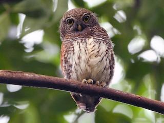 - Chestnut-backed Owlet
