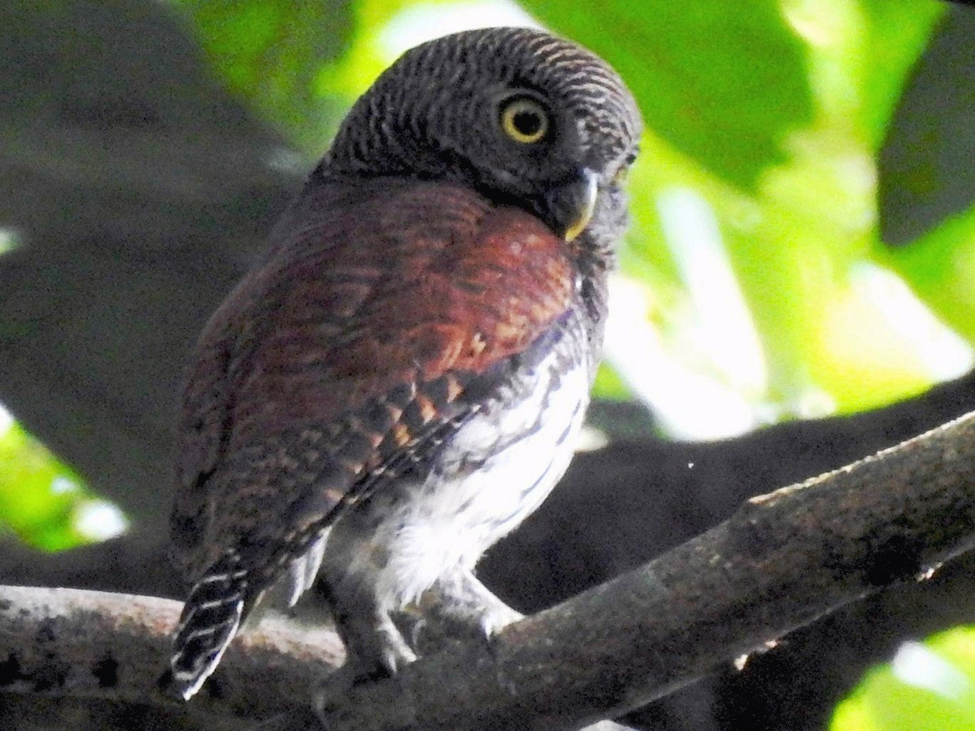 Chestnut-backed Owlet - Athula  Edirisinghe