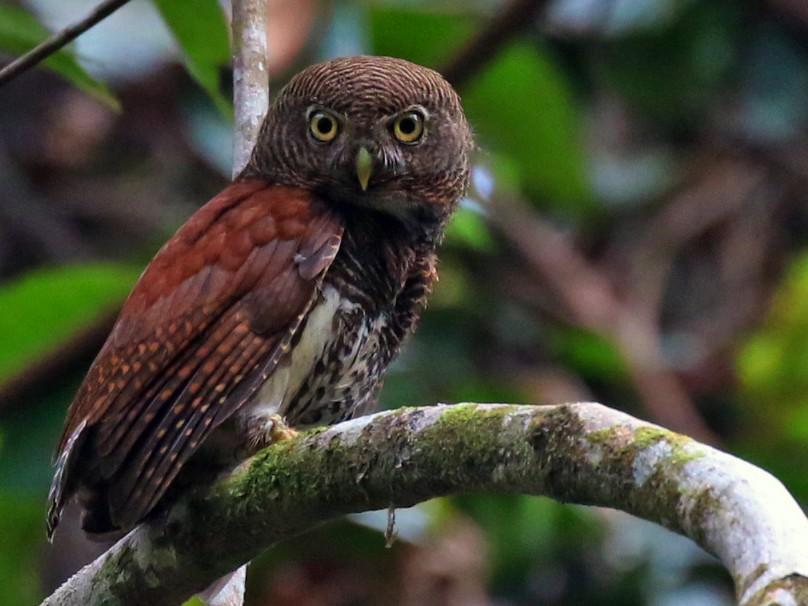 Chestnut-backed Owlet - Iroshan Rupasinghe