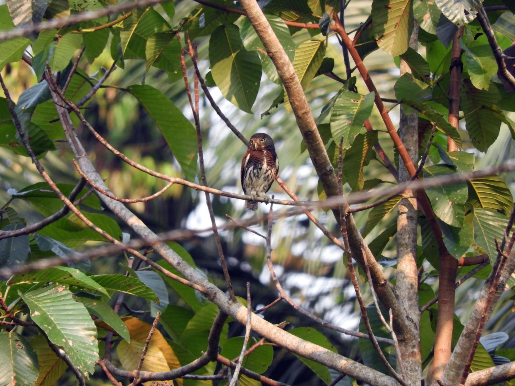 Chestnut-backed Owlet - Anonymous eBirder