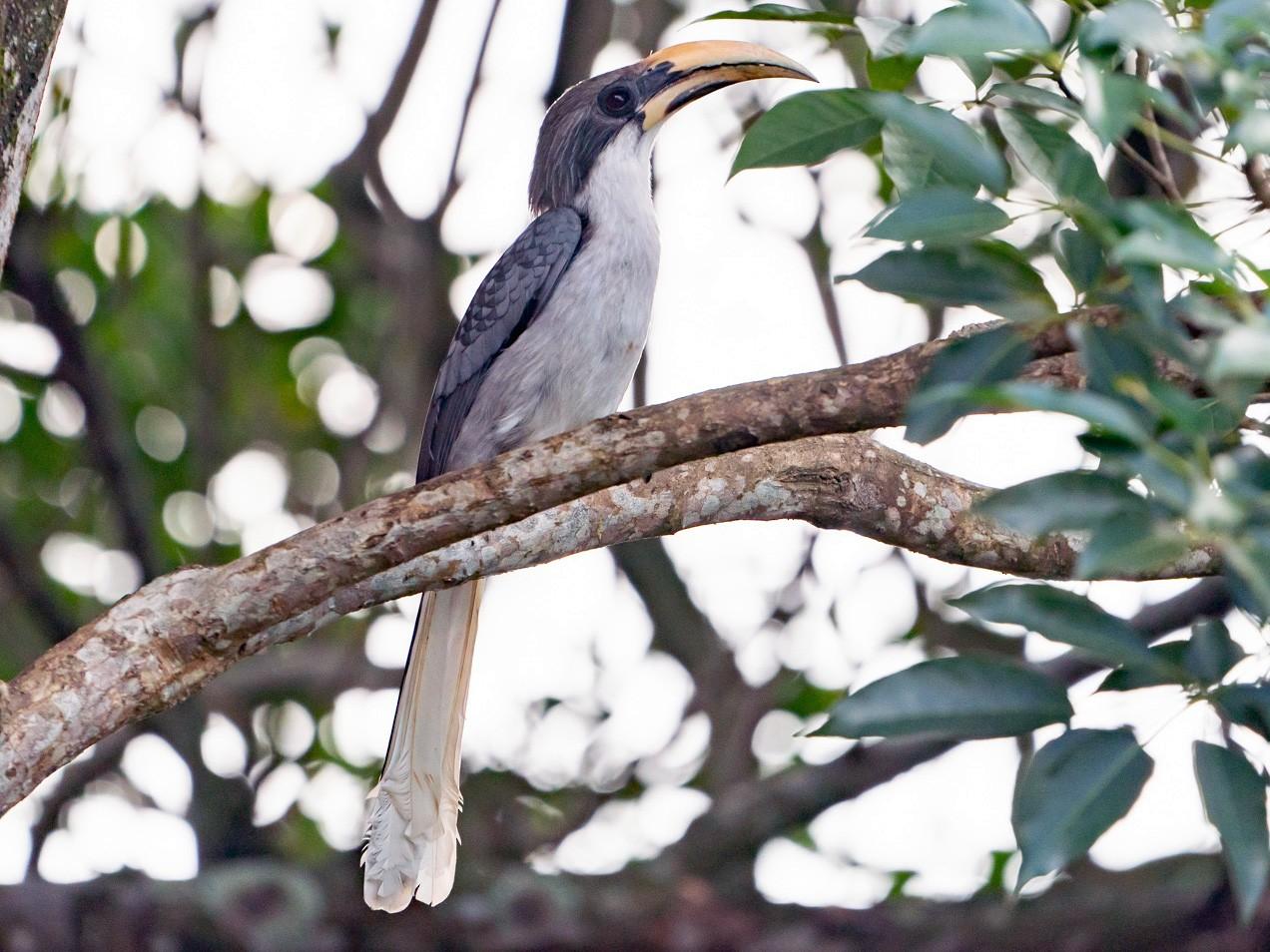 Sri Lanka Gray Hornbill - Joao Quental JQuental