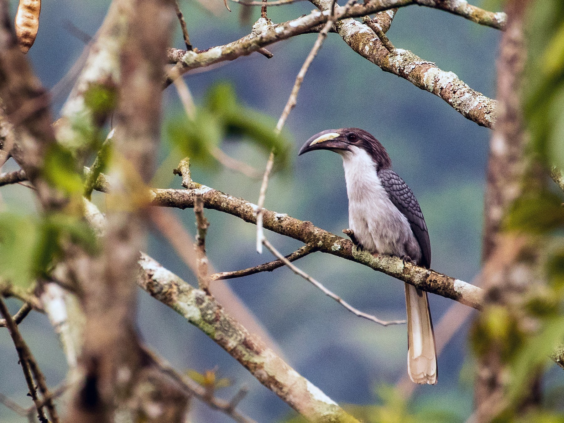Sri Lanka Gray Hornbill - Sherman Garnett