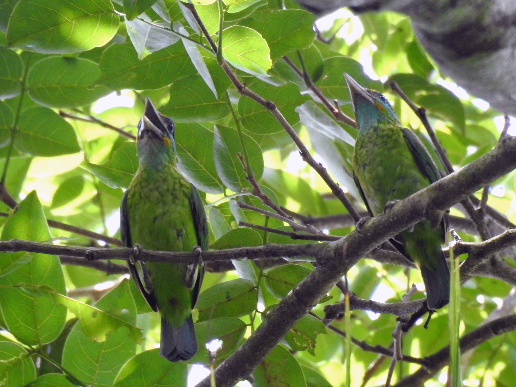 Yellow-fronted Barbet - Nimali Digo &  Thilanka Edirisinghe