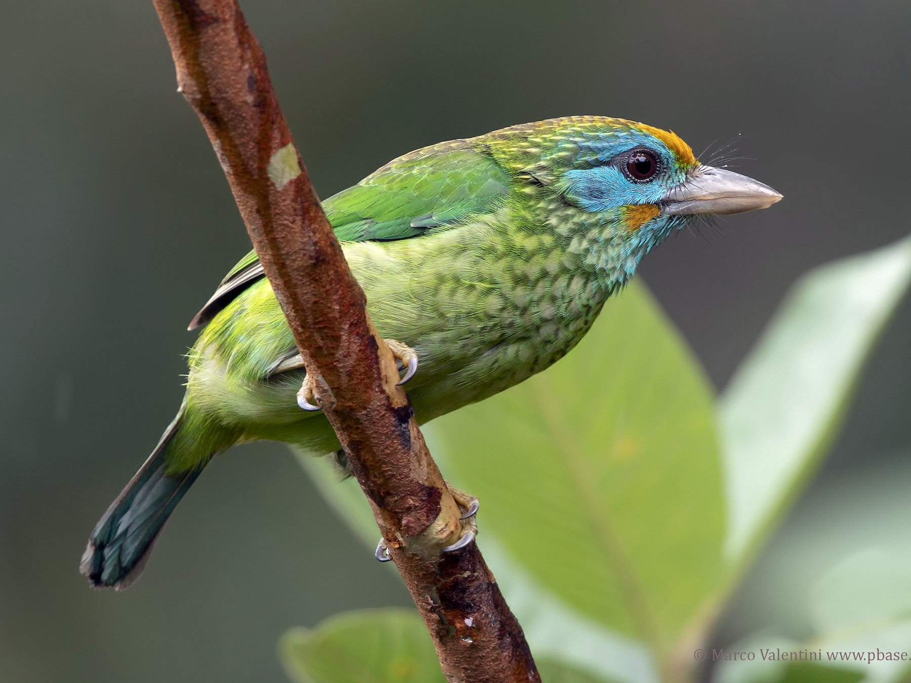 Yellow-fronted Barbet - Marco Valentini