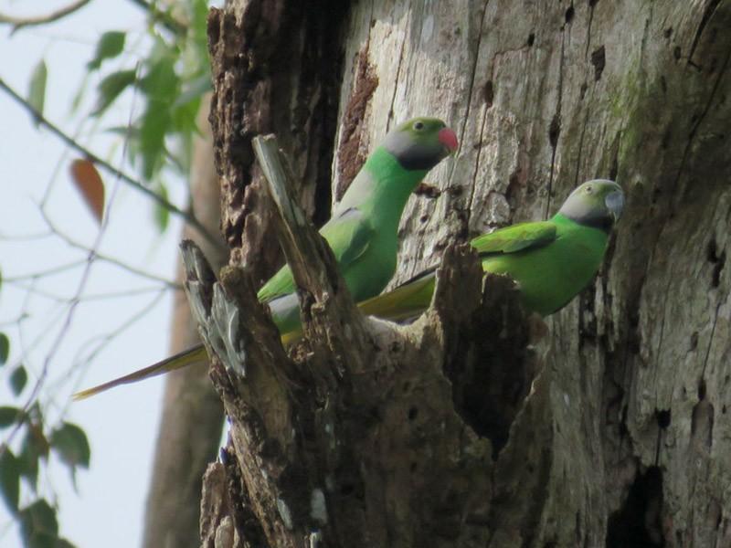 Layard's Parakeet - George and Teresa Baker