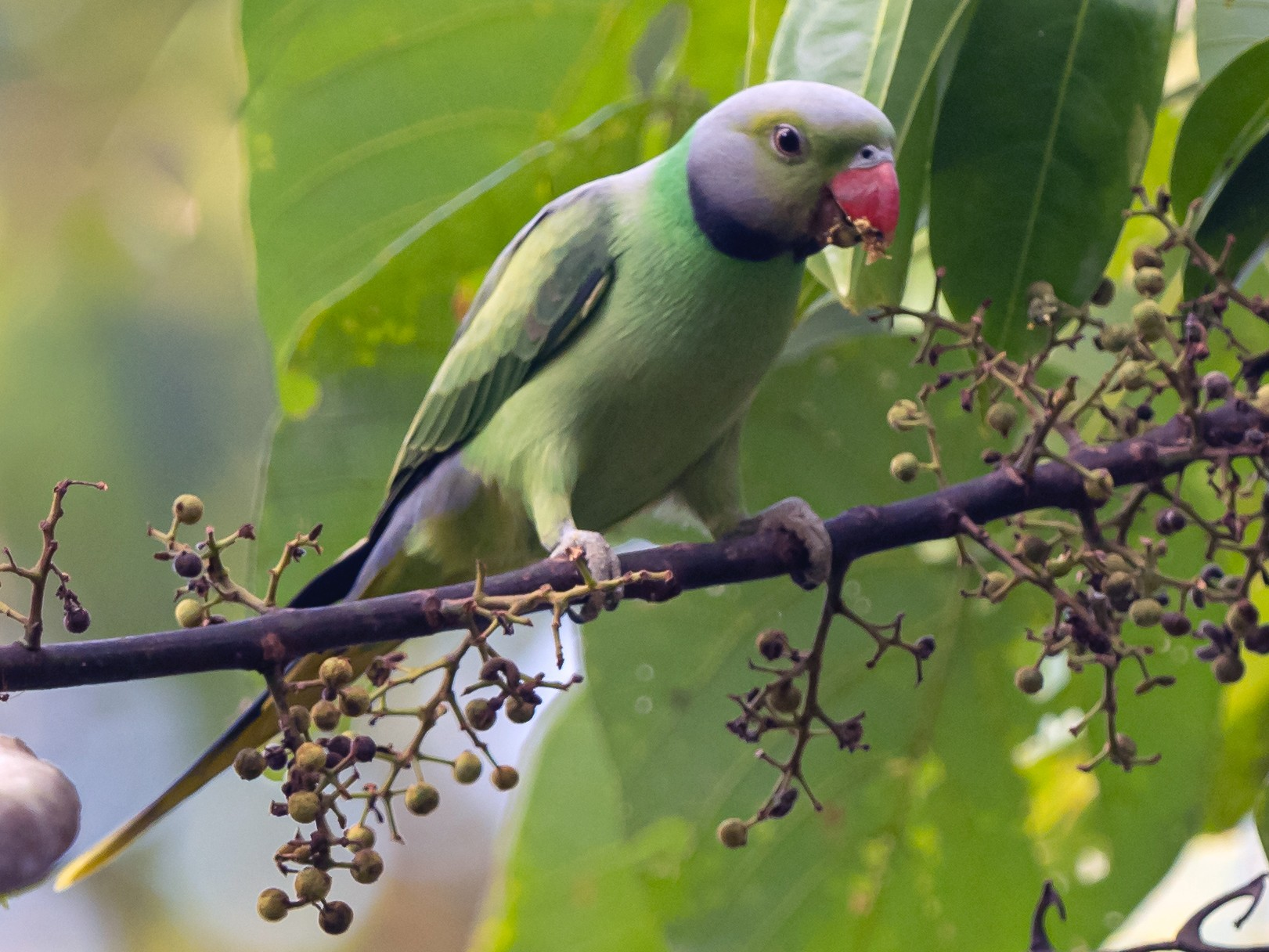Layard's Parakeet - William Stephens