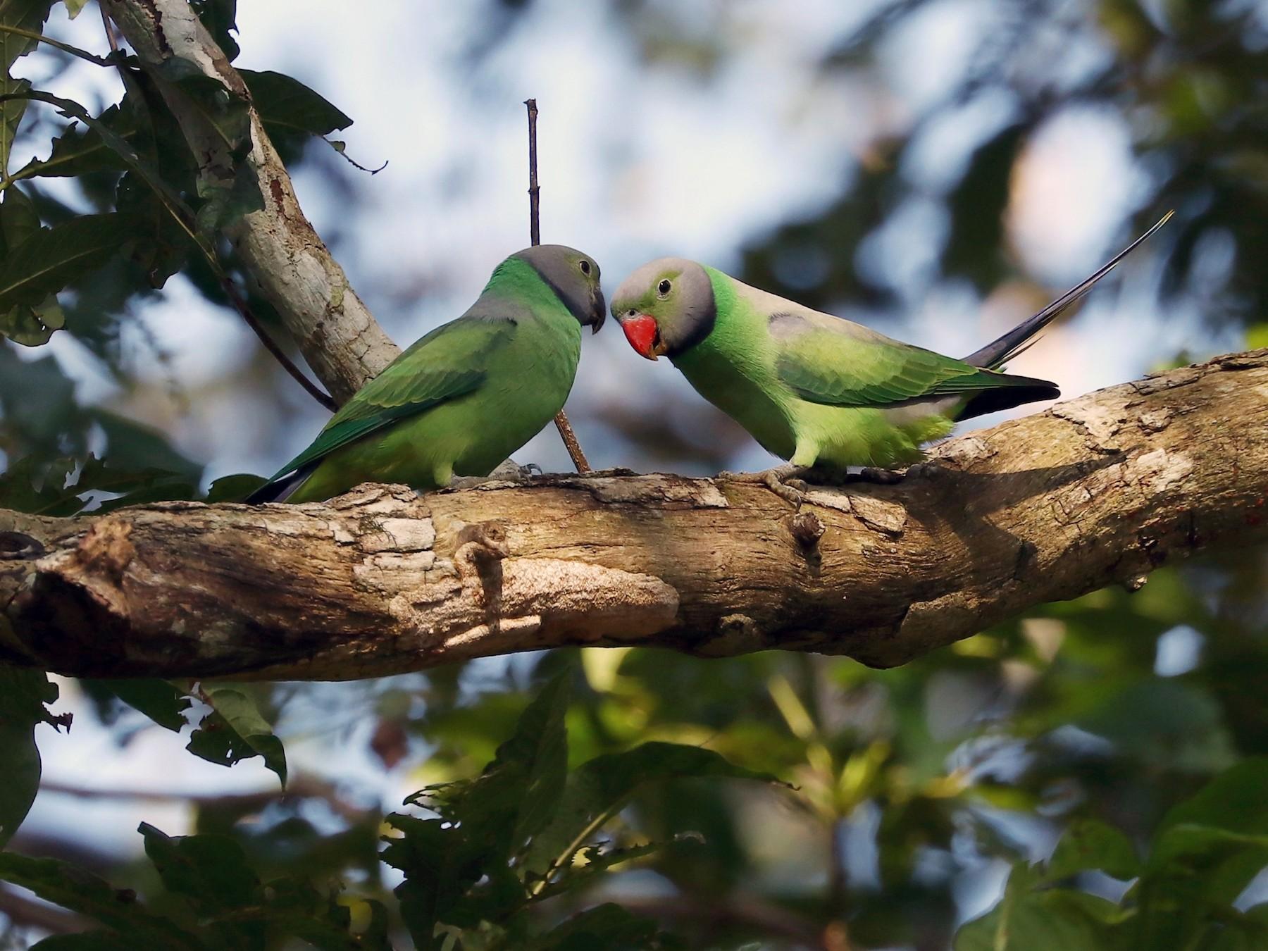Layard's Parakeet - Rangana Abeyrathne