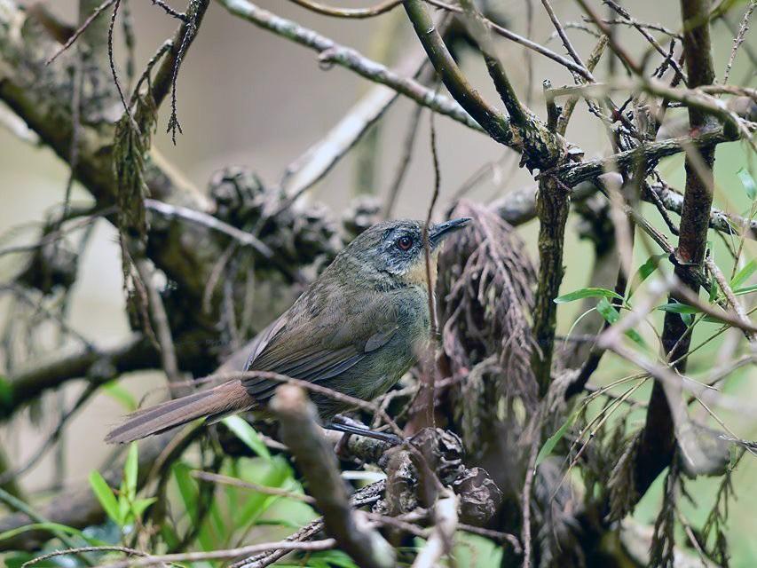 Sri Lanka Bush Warbler - Ajith Gamage