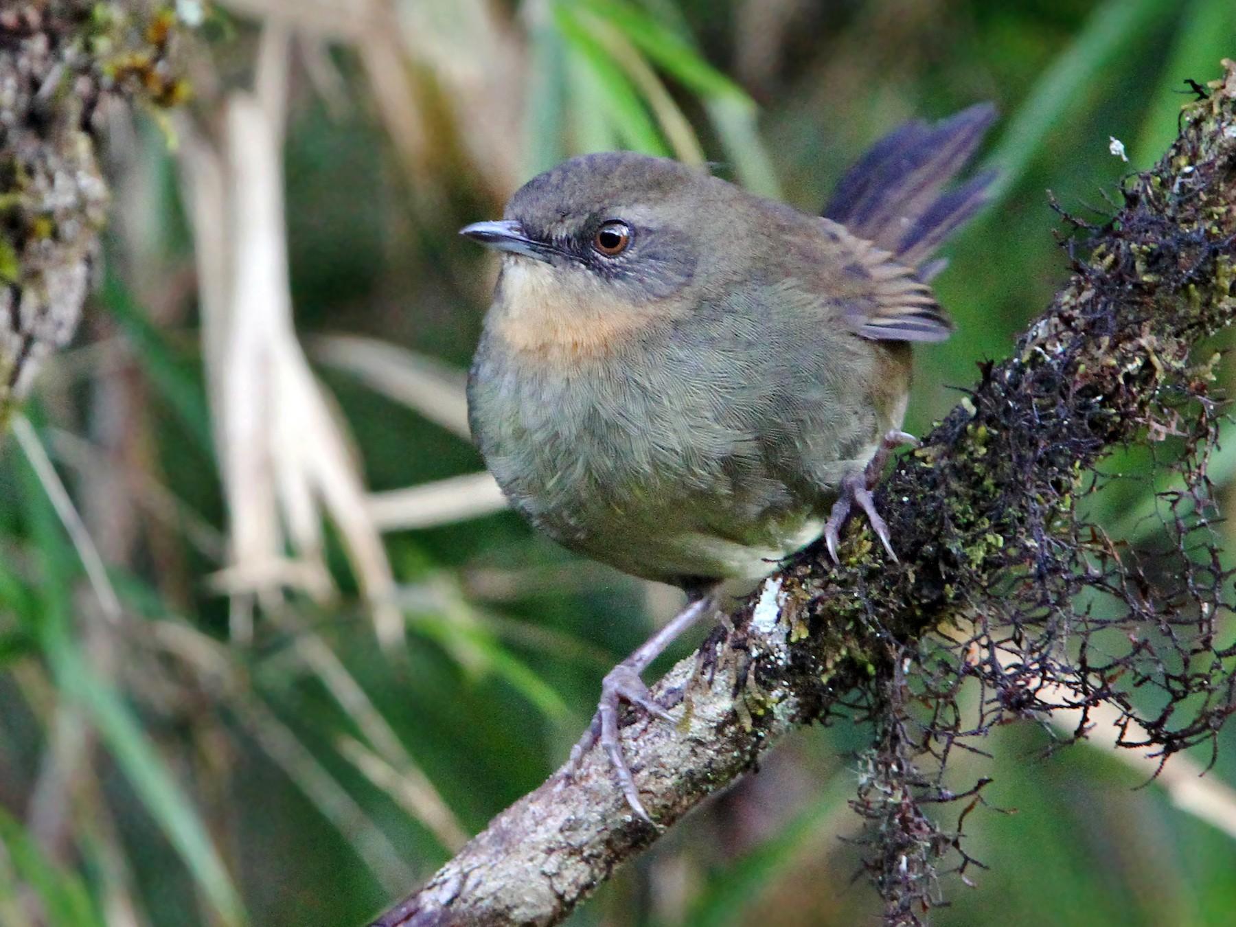 Sri Lanka Bush Warbler - Christoph Moning