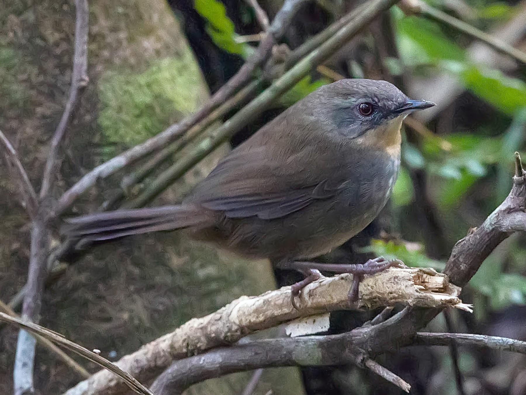 Sri Lanka Bush Warbler - Stefan  Hirsch