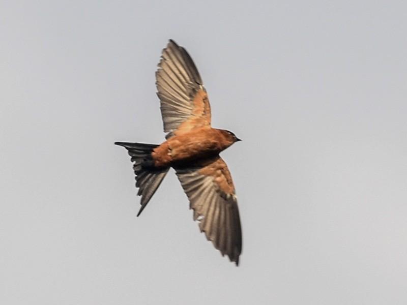 Sri Lanka Swallow - Nikolaj Mølgaard Thomsen
