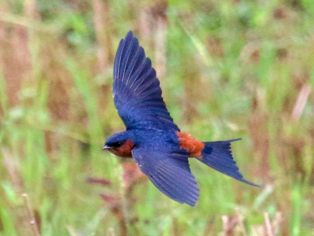 Sri Lanka Swallow - Tommy Pedersen