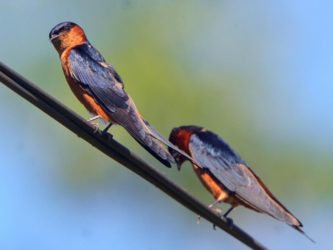 Sri Lanka Swallow - David Clark