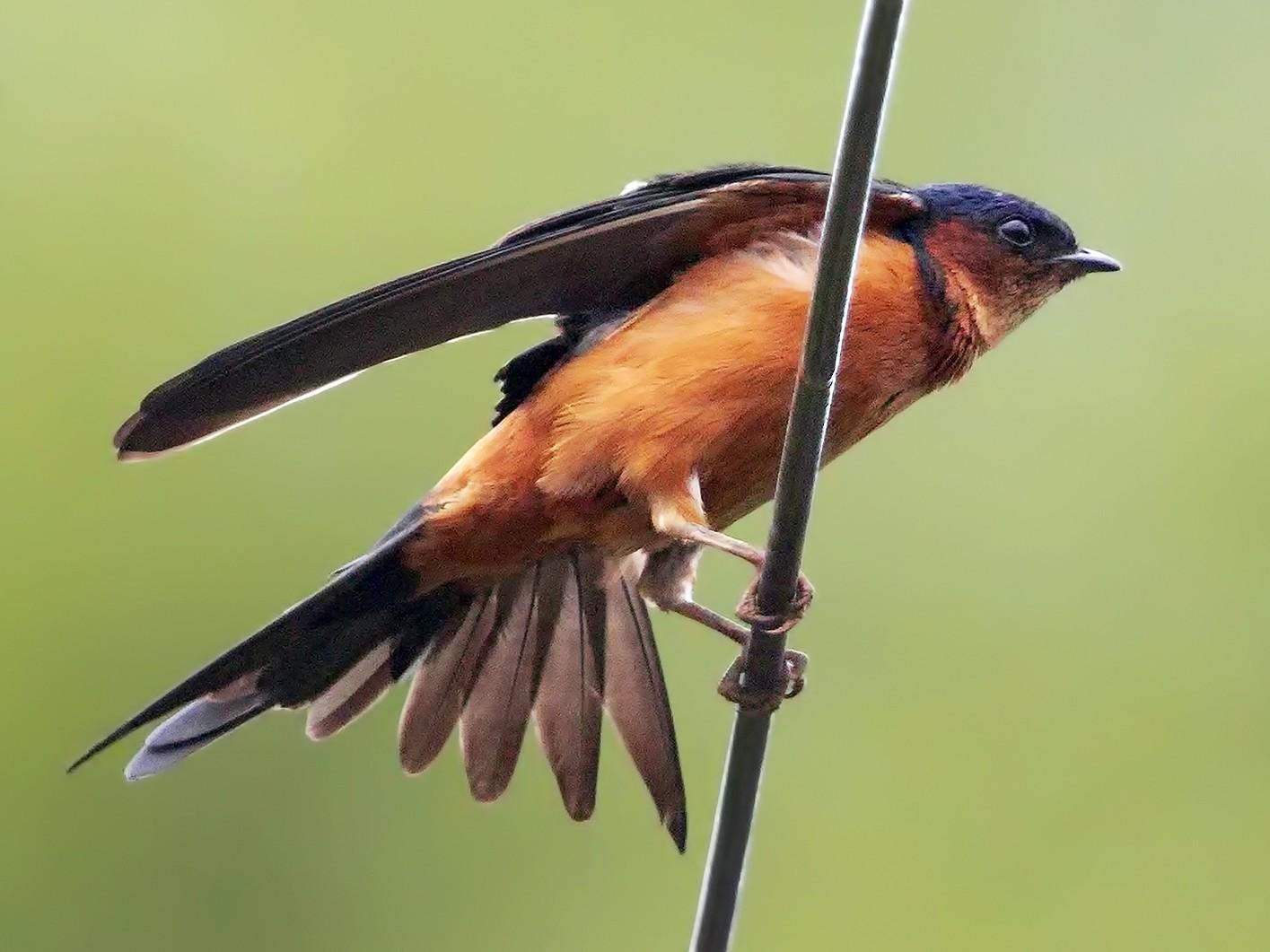 Sri Lanka Swallow - Marco Valentini