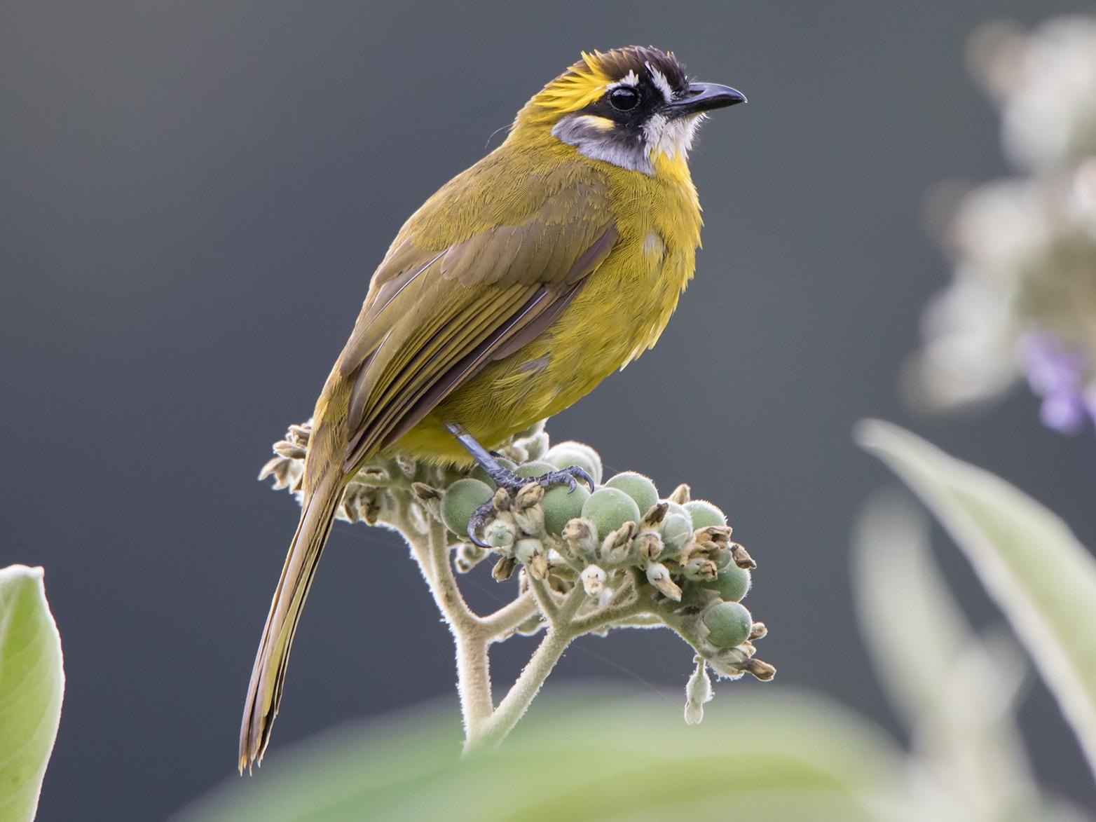 Yellow-eared Bulbul - Debankur  Biswas