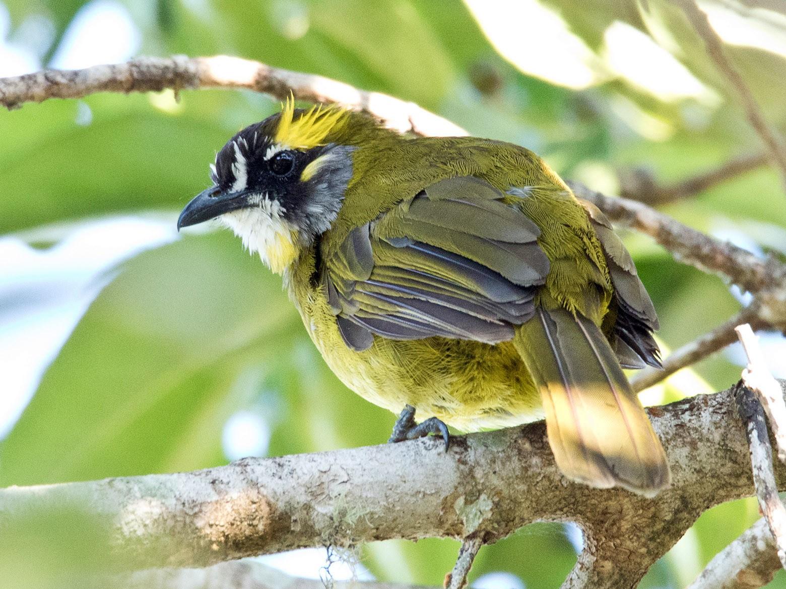 Yellow-eared Bulbul - Garima Bhatia