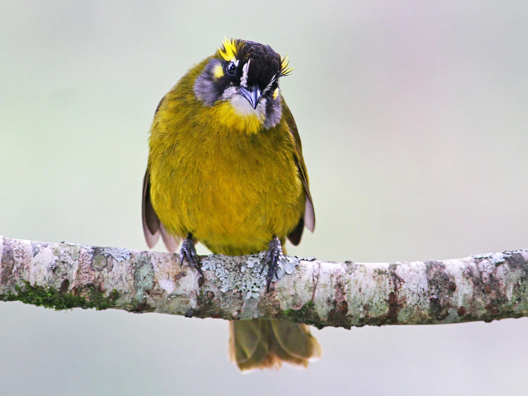 Yellow-eared Bulbul - Andrew Spencer