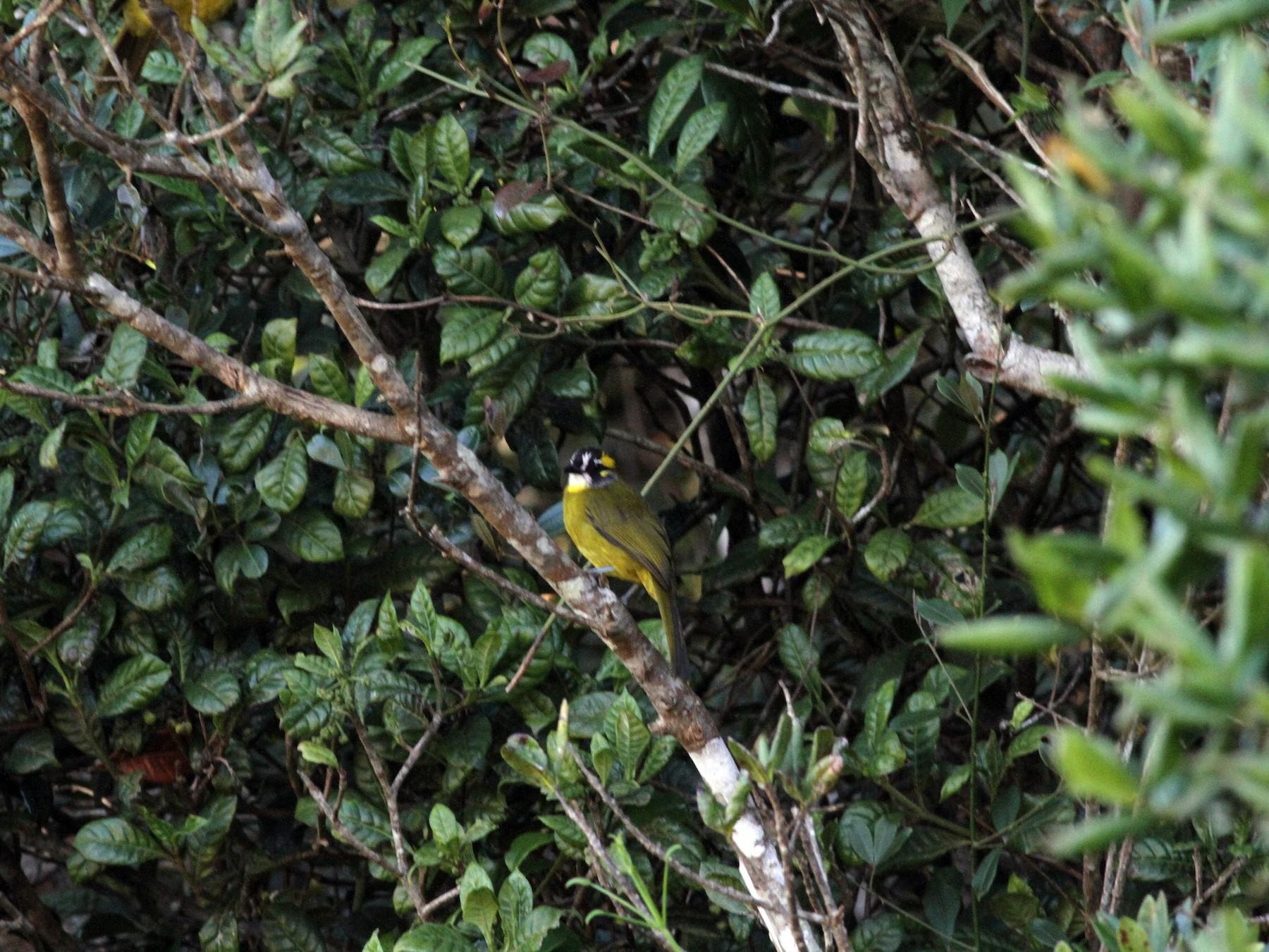 Yellow-eared Bulbul - Jan Harm Wiers