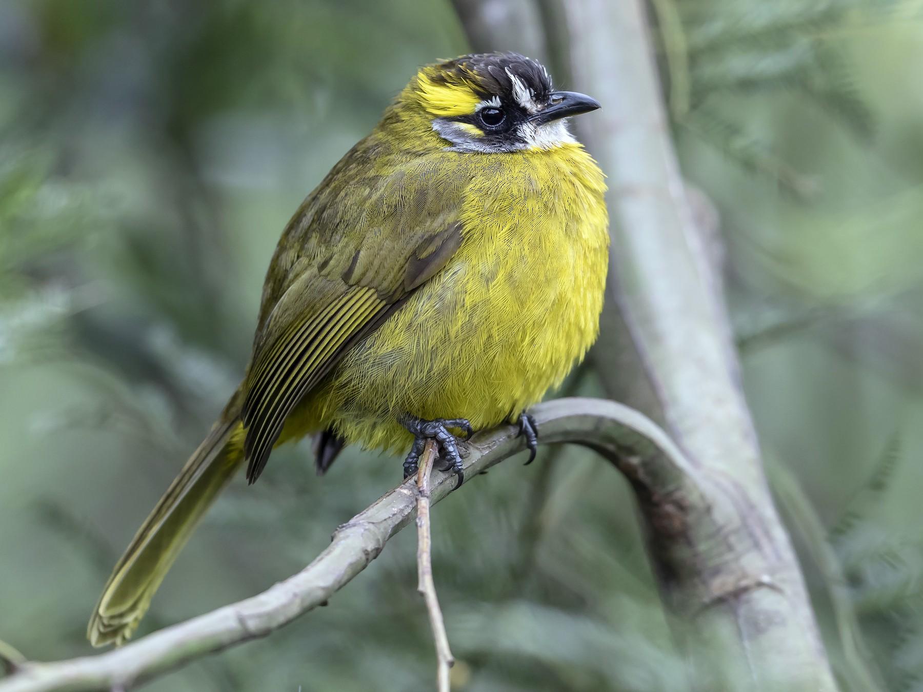 Yellow-eared Bulbul - Jieles van Baalen